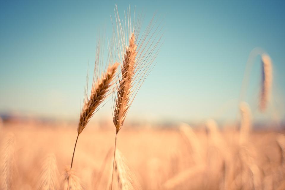 Epi de blé contenant du gluten